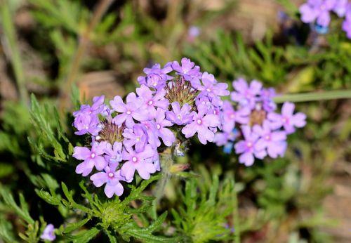 gamta, augalai, gėlės, violetinės & nbsp, gėlės, laukinės vasaros spalvos, violetinės spalvos & nbsp, laukinės spalvos, pavasaris & nbsp, laukinės spalvos, Oklahoma & nbsp, wildflowers, vervainas, dakota & nbsp, mock & nbsp, verain, žalios spalvos & nbsp, lapai, neryškus & nbsp, žalias & nbsp, fonas, Iš arti, Dakota mėgdžioti vervainą laukinius žiedus