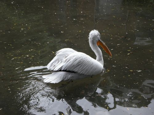 Dalmatian Pelican, Pelikan, Plaukti, Plaukti, Vandens Paukštis, Vanduo