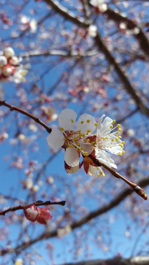 Damaskas,gėlės,mėlynas,balta,abrikosas,šviežias,sodas,gamta,dangus,gyvenimas,rožinis,violetinė,natūralus,filialas