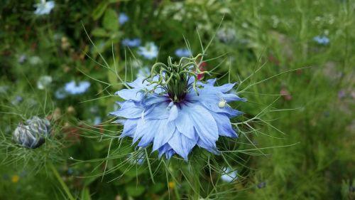 damaskas nigella,gėlė,sodas,žalias,mėlynas,augalai,gamta,žalias fonas