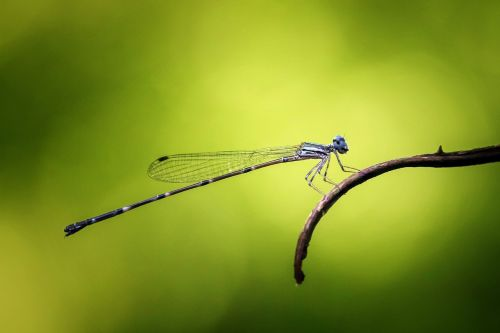 damselfly,odonata,vabzdys,makro,gamta,gyvūnas,mėlynas