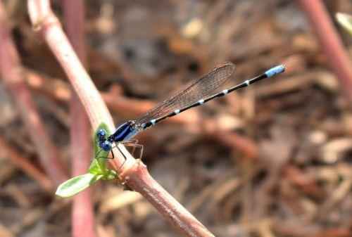 damselfly,žinomas bluetas,bluetė,vabzdys,vabzdžiai,sparnuotas,liesas,lieknas,klaida,skraidantis vabzdys,sparnuotas vabzdys,Iš arti,padaras,laukinė gamta,entomologija,nariuotakojų,biologija,fauna,gamta,Zygoptera