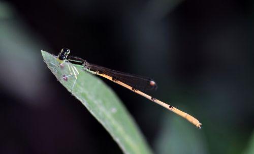 damselfly,vabzdys,vabzdžiai,sparnuotas,klaida,skraidantis vabzdys,sparnuotas vabzdys,lapai,Iš arti,padaras,laukinė gamta,entomologija,nariuotakojų,biologija,fauna,gamta,Zygoptera