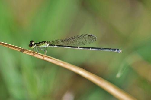 damselfly,vabzdys,vabzdžiai,sparnuotas,klaida,skraidantis vabzdys,sparnuotas vabzdys,Iš arti,padaras,laukinė gamta,entomologija,nariuotakojų,biologija,fauna,gamta,Zygoptera