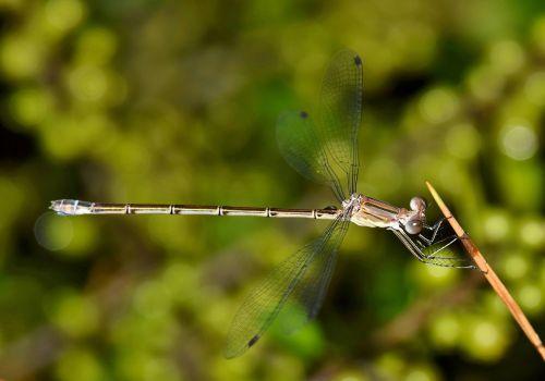 damselfly,vabzdys,vabzdžiai,sparnuotas,klaida,skraidantis vabzdys,sparnuotas vabzdys,Iš arti,padaras,laukinė gamta,entomologija,nariuotakojų,biologija,fauna,gamta,Bokeh,odonata,Zygoptera