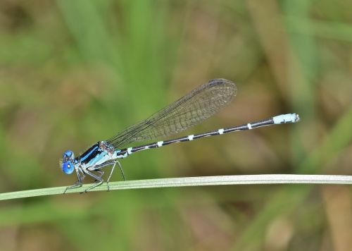 damselfly,žinomas bluetas,bluetė,vabzdys,vabzdžiai,sparnuotas,klaida,skraidantis vabzdys,sparnuotas vabzdys,Iš arti,padaras,laukinė gamta,entomologija,nariuotakojų,biologija,fauna,gamta,Bokeh,odonata,Zygoptera