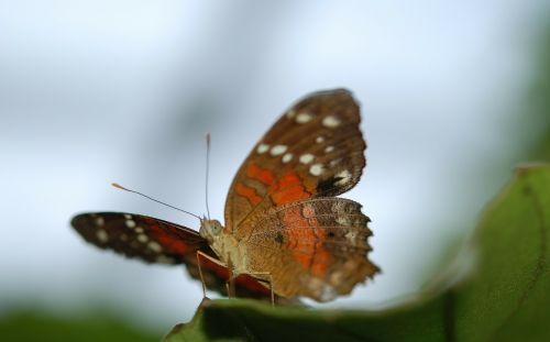 danaus,Plexippus,drugelis,drugeliai,vabzdys,gyvūnas,lapai,gamta
