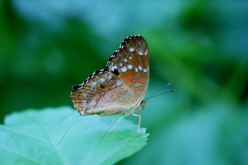 danaus plexippus,drugelis,drugeliai,vabzdys,gyvūnas,lapai,gamta