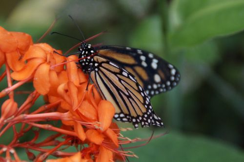 danaus plexippus,drugelis,Kanarų salos,Tenerifė,Ispanija,monarcho drugelis,monarchas,edelfalter,amerikietis