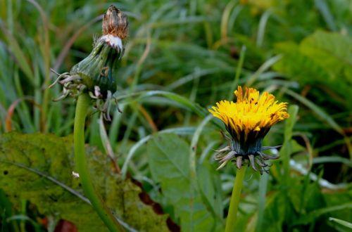 kiaulpienė,kompozitai,paprastas,pievų augalai
