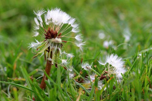 kiaulpienė,skraidančios sėklos,sėklos,aštraus gėlė,išblukęs,pieva,žolė,pavasaris,skrydžio sėklos ant grindų,kritusių sėklų skrydis,gamta