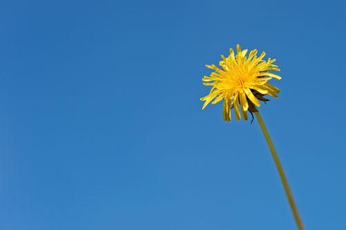 kiaulpienė,gėlė,geltona,laukiniai,flora,augalas,dangus,šviežumas,žydėti,žydi,mėlynas,švarus,aišku,minimalus,minimalizmas,žiedlapiai,gamta,vienas,1,vienas,vienas