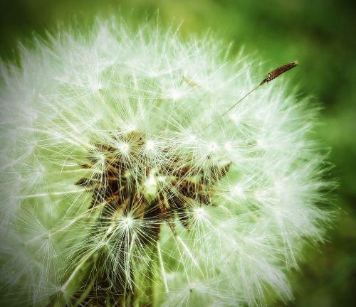 kiaulpienė,augalas,piktžolių,sėklos,gamta,žalias,laukiniai,gėlė,pieva,pavasaris,vasara,šviežias,sodas,veja,wildflower,svajones,norai,vaikystės svajones,kaimas,saulėtas