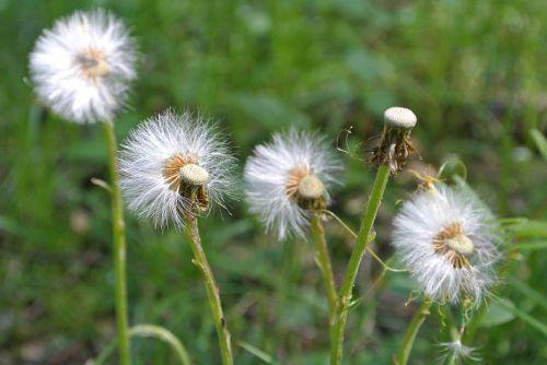 kiaulpienė,vėjas,pučia,pavasaris,gamta,piktžolių,vėjas,subtilus
