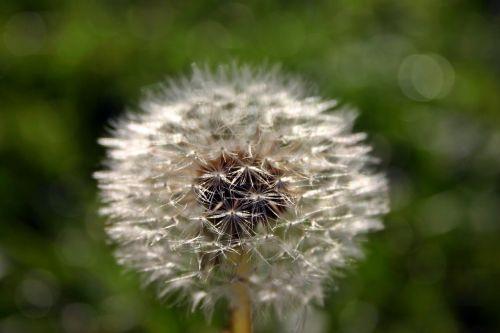 kiaulpienė,sėklos,gamta,pieva,aštraus gėlė,Uždaryti,skėtis,išblukęs,sėklos buvo,laukinė gėlė,klestėjo,skraidančios sėklos,laukinis augalas,makro