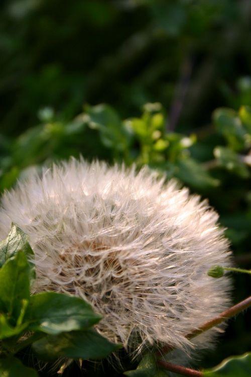 kiaulpienė,sėklos,gamta,pieva,aštraus gėlė,Uždaryti,skėtis,išblukęs,sėklos buvo,laukinė gėlė,klestėjo,skraidančios sėklos,laukinis augalas,makro,sodas