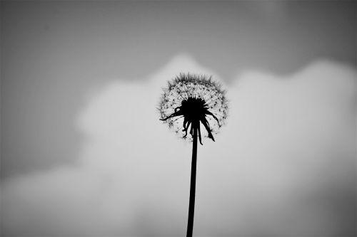 kiaulpienė,vienas,juoda ir balta,gėlė,gamta,vasara,žalias,pavasaris,vienas,augalas,žolė,balta,pieva,vienas,laukas,geltona,gėlių,žiedas,piktžolių,sėkla,sodas,žydėti,makro,asmuo,vienišas,mažas,jaunas,mergaitė,sezonas,mielas,žavinga,natūralus