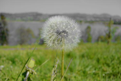 kiaulpienė,tussilago farfara,Uždaryti,išblukęs,žiedadulkės,gėlė,alergija,bičių žiedadulkės