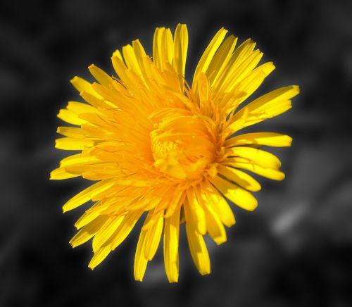 kiaulpienė,žiedas,žydėti,geltona,aštraus gėlė,augalas,geltona gėlė,pavasaris,Laisvai pastatomos,Uždaryti,gėlė,laukinė gėlė,saulėtas geltonasis,gamta,sodas