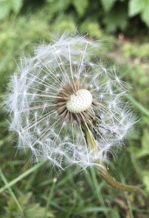 kiaulpienė,laikrodis,gamta,gėlė,augalas,vasara,pavasaris,sėkla,piktžolių,žiedas,žiedadulkės,sezonas,blowball,augimas,pieva