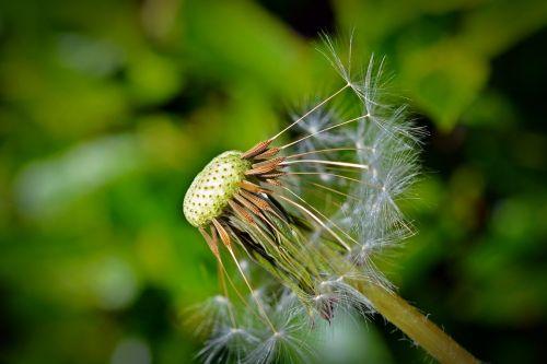 kiaulpienė,sėklos,Uždaryti,makro,kiaulpienes,skėtis,skraidančios sėklos,augalas
