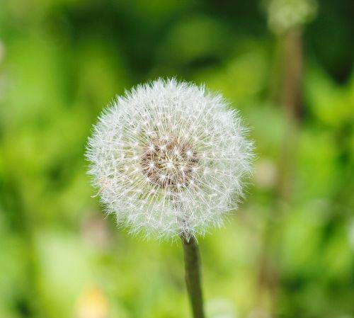 kiaulpienė,vasara,žalumos,gamta,gėlė,augalas,makro,purus kiaulpienis,žydėti,subtilus gėlė,graži gėlė,gyvoji gamta,gėlės,žalias,gražus,vasaros gėlė,purus gėlė