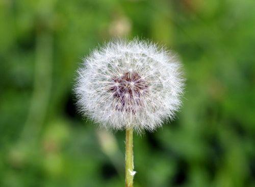 kiaulpienė,purus,balta,sonchus oleraceus,gėlė,pieva,žolė,žalias