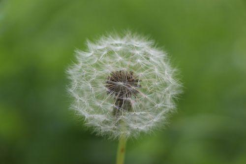 kiaulpienė,gėlė,vasara,augalas,aštraus gėlė,Uždaryti,laukinė gėlė,pavasaris,sodas,gamta,skraidančios sėklos,saulė,gražus,gėlės,pavasario gėlė,flora