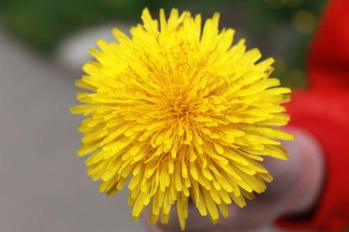kiaulpienė,geltona,vasara,gėlė,geltona gėlė,makro,gamta,augalas,gėlės,vasaros gėlės,Iš arti,lauko gėlės,šviesus,gražus,laukinės gėlės,birželis,geltonos gėlės,šiltas,makrofotografija