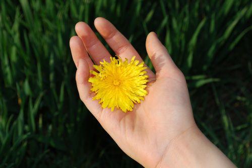 kiaulpienė,gėlės,gėlių,žiedas,žiedlapis,šviesus,žydėti,flora,botanika,botanikos,gyvas,budas,stiebas,šviežias,auga,gėlininkystė,aplinka,lapija,augimas,išsaugojimas,ekologiškas,sodrus,Žemdirbystė,sodinukai,žemė,derlingas,trapi,aromatingas,vaisingumas,nektaras,subtilus,elegantiškas,kvapas,žiedadulkės,išplistų,aromatas,švelnus,švelnus,kvepalai,Grynumas,sezoninis,ranka,asmuo,ūkis