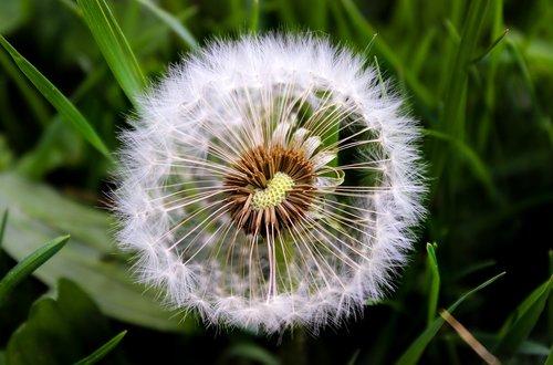 kiaulpienė, pobūdį, augalų, žolė, pavasaris, žalias, žolės, gėlė, žolė pieva, žydi, meadow, žalia žolė, kraštovaizdis, Iš arti, ašmenys žolės, aukštos žolės, Rush, Nebaigtas, šviežias