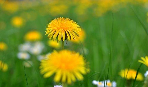 kiaulpienė, pabarstyti, žiedadulkės, pobūdį, žolė, meadow, geltona, spyruoklė pieva, pavasaris, gėlė, laukinių gėlių, gėlės