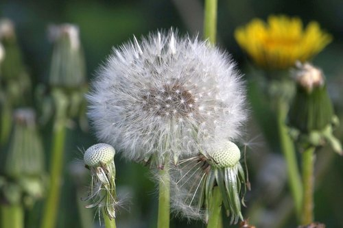 kiaulpienė, sėklos, Iš arti, gėlė, prarastas, pobūdį, augalų, pavasaris, sodas