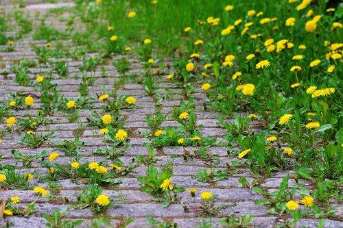 kiaulpienė, pleistras, grindinio akmenys, augti, apaugę, gėlė, augalų, gamta
