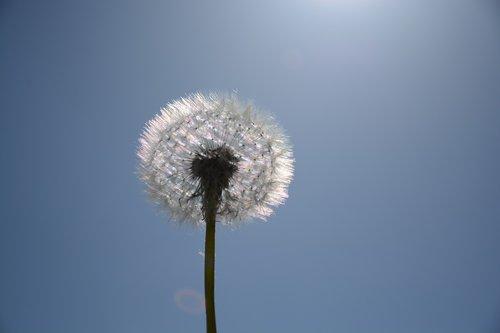 kiaulpienė, baltos spalvos, makro, Kiaulpienė, pobūdį, gėlė, pavasaris, prarastas, gėlės, dangus, prarastas kiaulpienė, augalų, chmíří