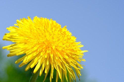 kiaulpienė, paprastoji kiaulpienė, Kiaulpienė ruderalia, kompozitai, Asteraceae, vaistinis augalas, vaistinio gėlių, piktžolių, pieno žolelių, smailu gėlė