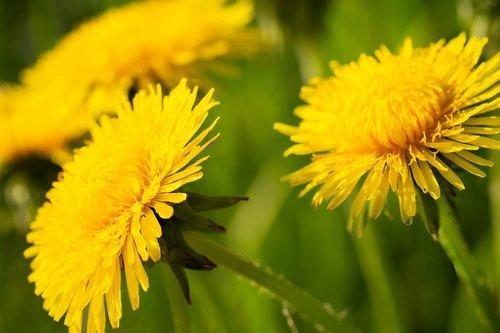 kiaulpienė, daržinė pienė, Kiaulpienė, pavasaris, vienuolės, augalų, Kiaulpienė officinale, geltona, kiaulpienės srityje, meadow, gėlė, makro, spyruoklė pieva, pobūdį, žydi, Iš arti