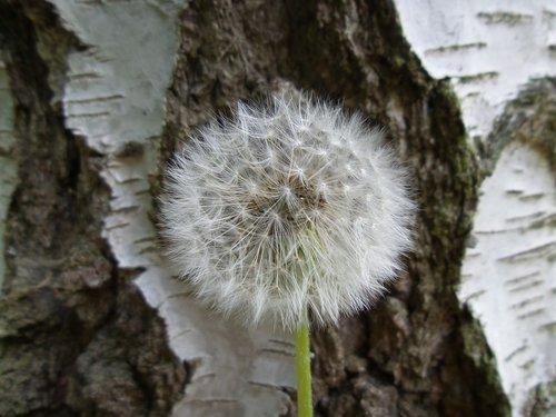 kiaulpienė, gėlė, fonas, pavasaris, vasara, pobūdį, Kiaulpienė, prarastas kiaulpienė, makro, pūkas, augalai, prarastas, augalų, šviesa