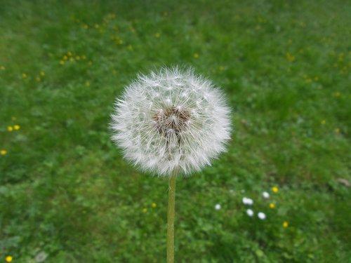 kiaulpienė, gėlė, fonas, pavasaris, vasara, pobūdį, Kiaulpienė, prarastas kiaulpienė, makro, pūkas, augalai, prarastas, augalų, šviesos, baltas