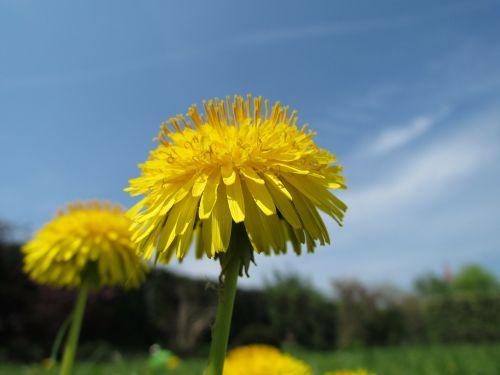 kiaulpienė,augalas,gamta,geltona,Uždaryti,žiedas,žydėti,pavasaris,laukinis augalas,flora,bodnar,dangus,mėlynas,kompozitai,žydintis augalas