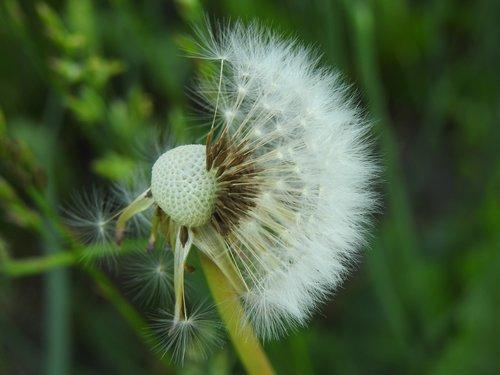 kiaulpienė, daržinė pienė, žolė, augalų, meadow, Iš arti, Kiaulpienė officinale, delikatesas, sėklos, pobūdį, Kiaulpienė, pavasaris, augalai, Polyana