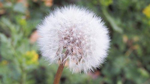 kiaulpienė, vasara, gėlė, žalias, augalų, lauko, laisvė, gyvenimas, trapumas