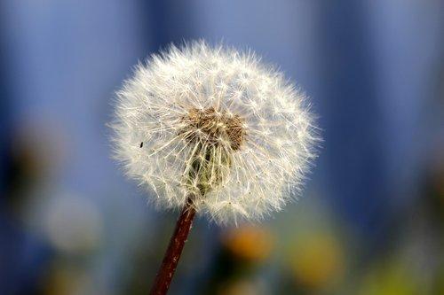 kiaulpienė, Furry, purus kiaulpienės, augalų, gėlė, pobūdį, vasara, oro, pūkų iš pienės, Pūkuotukas, baltos spalvos, parašiutai, purus gėlių, mėlyna fono, Iš arti, ne žmogus, gyvosios gamtos