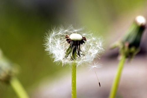 kiaulpienė, Furry, purus kiaulpienės, augalų, gėlė, pobūdį, vasara, oro, pūkų iš pienės, Pūkuotukas, baltos spalvos, parašiutai, purus gėlių, Iš arti, ne žmogus, gyvosios gamtos, žalias