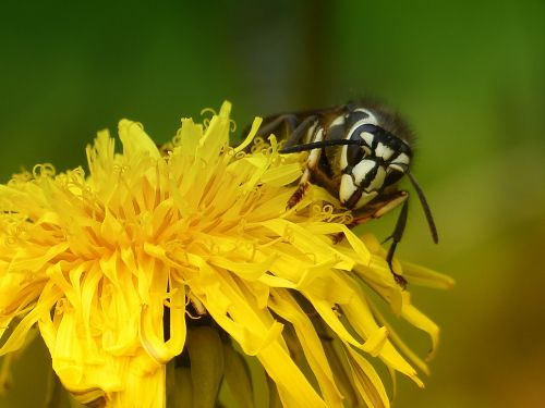 kiaulpienė,laukinė gėlė,slauga,isp,juoda,balta,vabzdys,gyvūnas,laukinis gyvenimas,laukinis augalas,pieva,makro,Iš arti,sodas