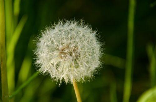 kiaulpienė,žiedas,žydėti,pieva,gamta,vasara,Uždaryti,žiedadulkės,sėklos,bendras skrydis,kraštovaizdis,išblukęs,augalas,sodas