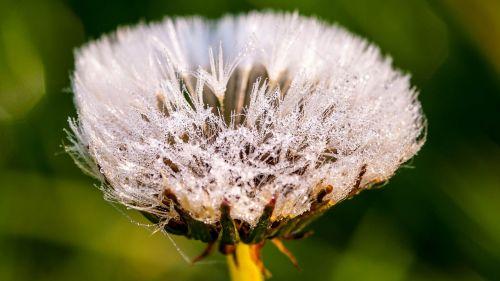 kiaulpienė,gėlė,rasa,Morgentau