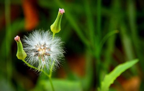 kiaulpienė,Bokeh,lauko gėlė