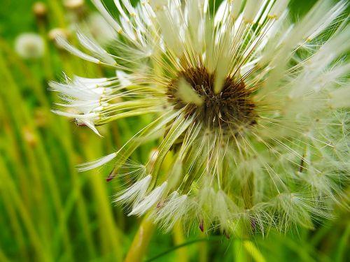 kiaulpienė,pūkas,makro,kiaulpienės,išblukęs,balta,gėlė,žalias,pieva,išblukęs kiaulpienė,žolė,išsamiai,sėklos,ruda,augalas,veja,medicinos,gėlės