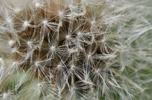 kiaulpienė,pūkas,išsamiai,makro,gėlė,išblukęs,gėlės,išblukęs kiaulpienė